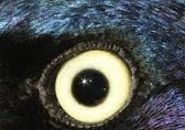 Grackleye