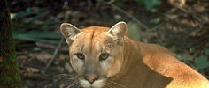 Florida Panther Attacks Human for the First Time